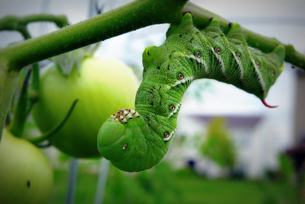 How to kill tomato hornworms